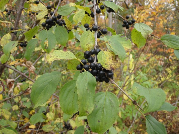 Buckthorn_berries_in_autumn.jpg