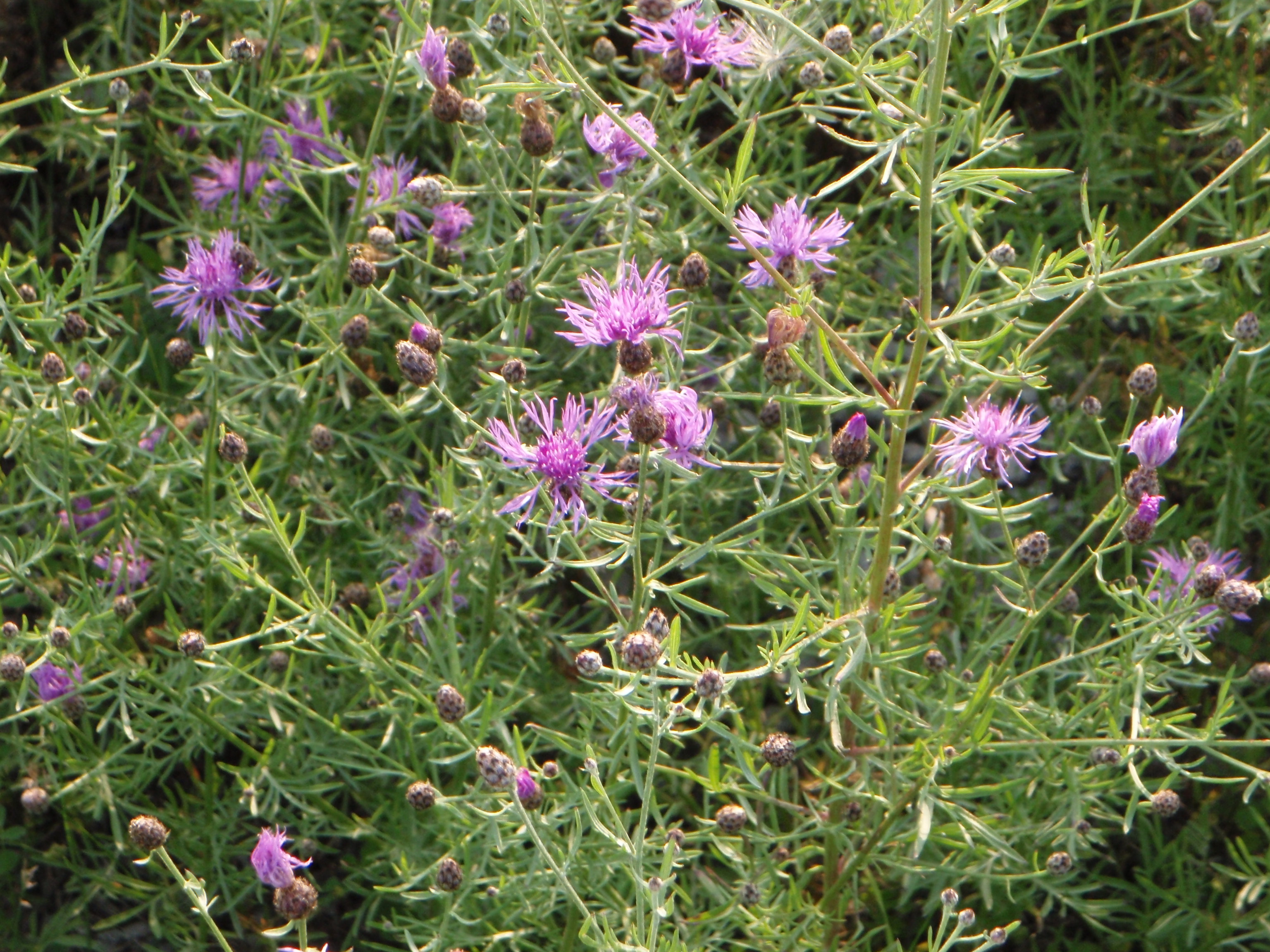 Spotted Knapweed.JPG