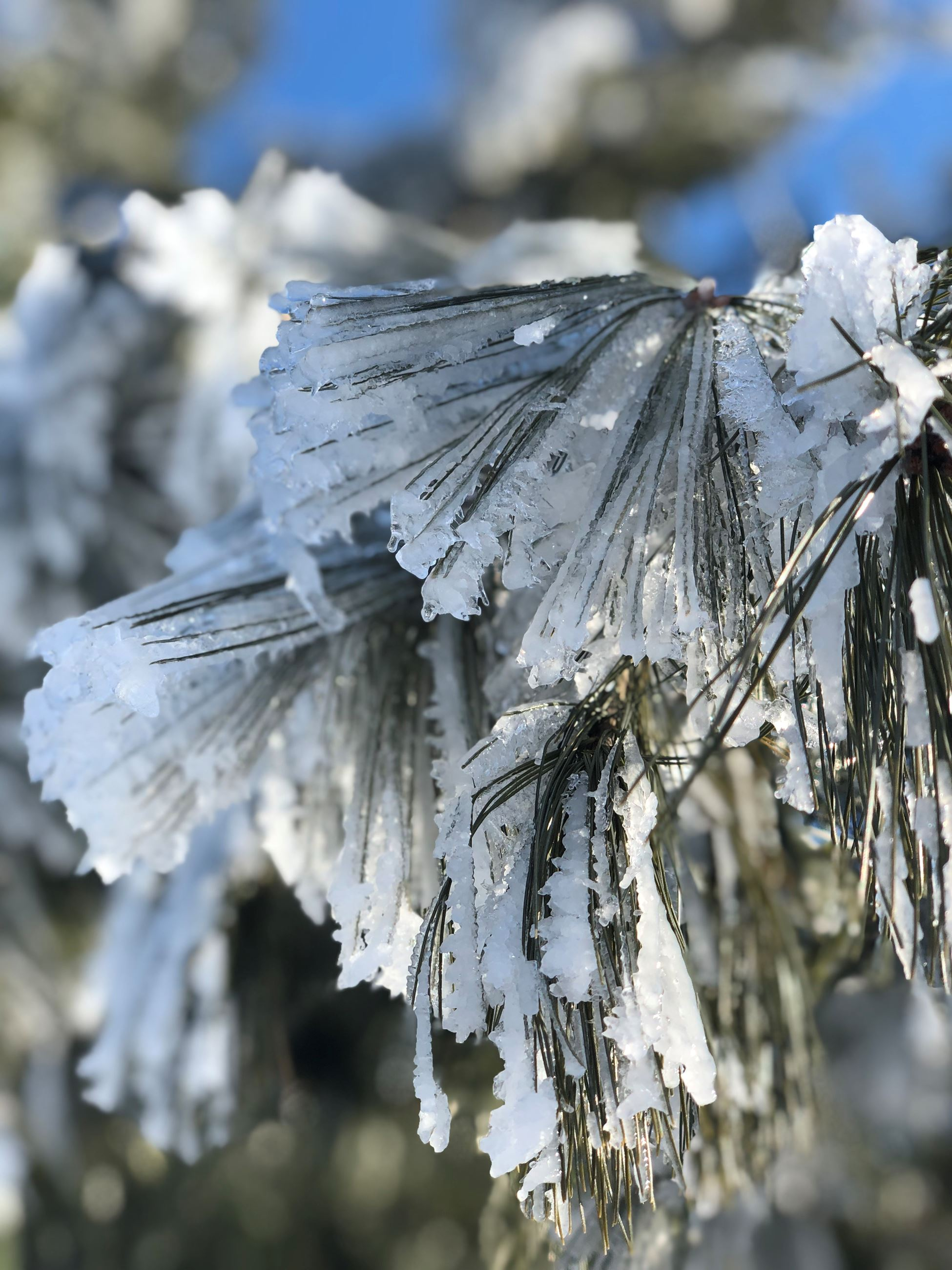 The needles of a pine tree crusted with ice.
