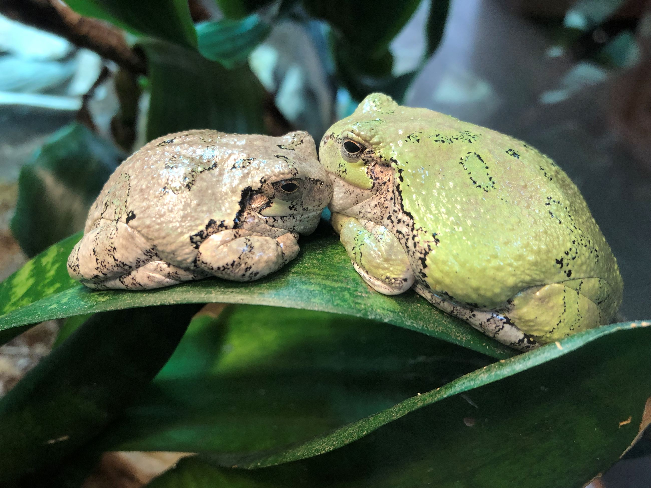 Two gray tree frogs sitting on a leaf. They are face to face and look like they are kissing.